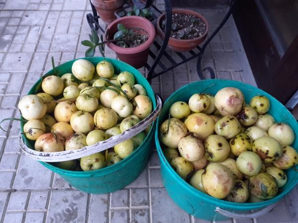 Vypestujte si jablone zo semienok